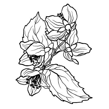 kleurplaten nl kleurplaat jasmijn