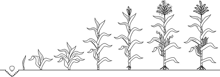 Coloring Page With Life Cycle Of Corn Plant Growth Stages