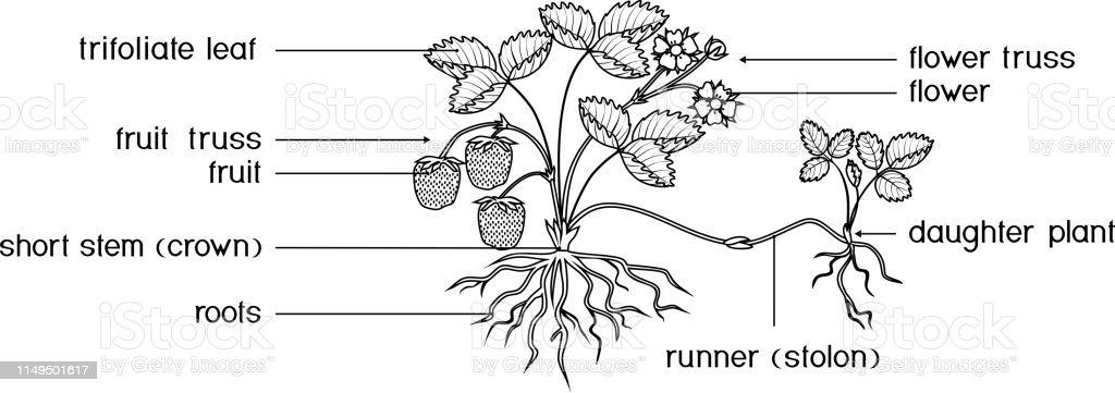Bitki Parcalari Ile Boyama Sayfasi Beyaz Arka Planda Izole Kokleri