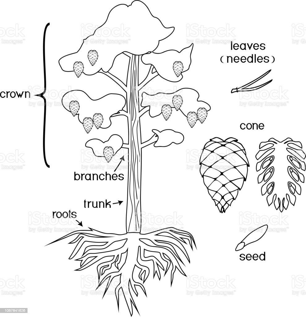 Bitki Parçaları Ile Boyama Sayfası Morfoloji Taç Kök Sistemi Ve Koni