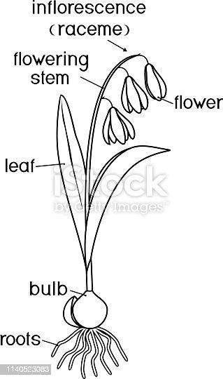 ᐈ Imagen De Partes De La Planta Morfología De Escila
