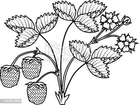 Coloring page with strawberry plant with leaves, flowers and ripe berries