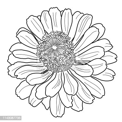 Coloring page with zinnia flower. Freehand sketch for adult coloring book.