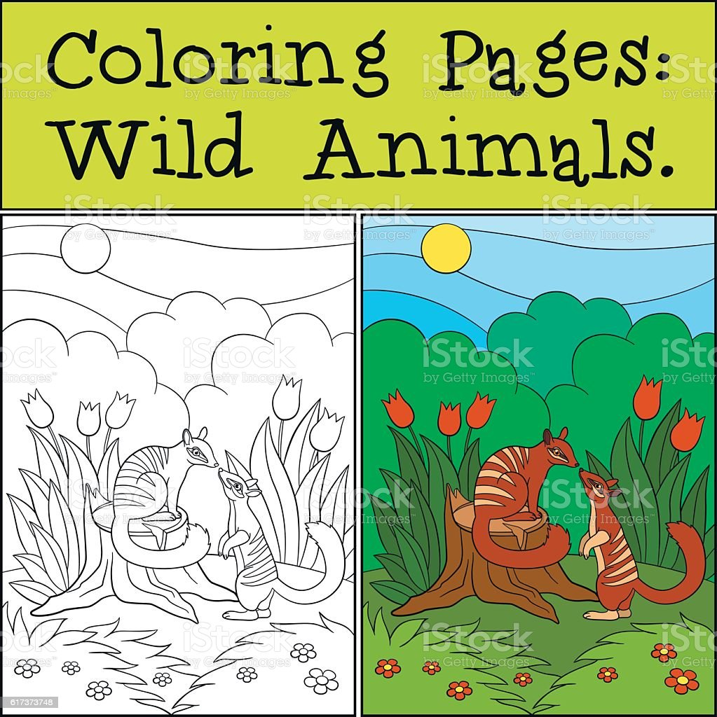 Coloring Pages Wild Animals Two Little Cute Numbats Stock Vector Art ...