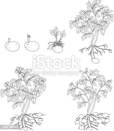 Coloring With Potato Plant Growth Cycle Stock Vector Art