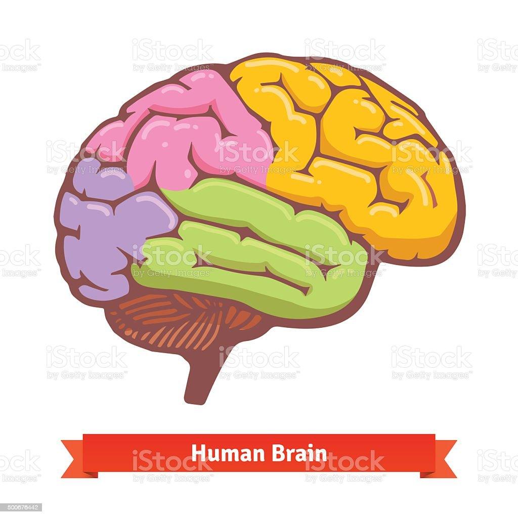 Cerebro Humano Diagrama De Color - Arte vectorial de stock y más ...