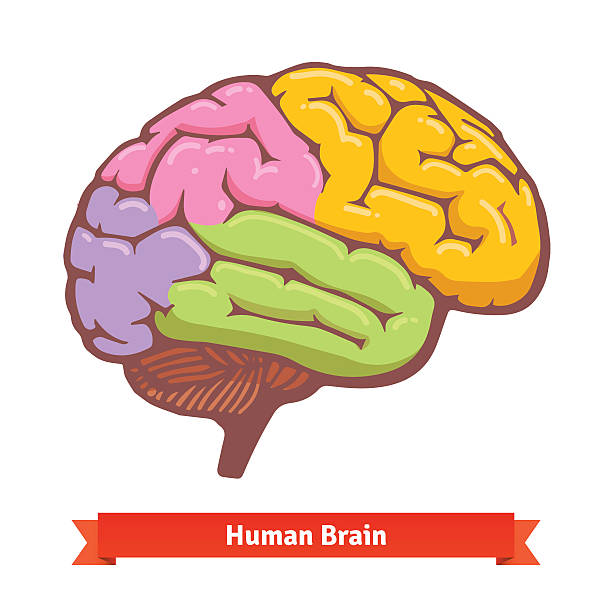 Coloured human brain diagram Coloured human brain diagram. Flat vector illustration. occipital lobe stock illustrations
