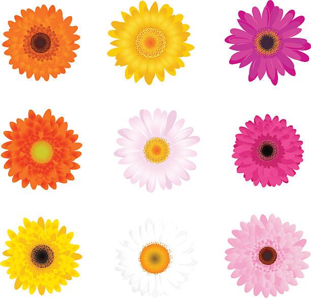 ilustrações de stock, clip art, desenhos animados e ícones de conjunto colorido gerbers - flower white background