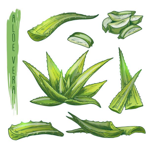 Colourful set of aloe vera elements. Vector silhouettes of botanical plant. vector art illustration
