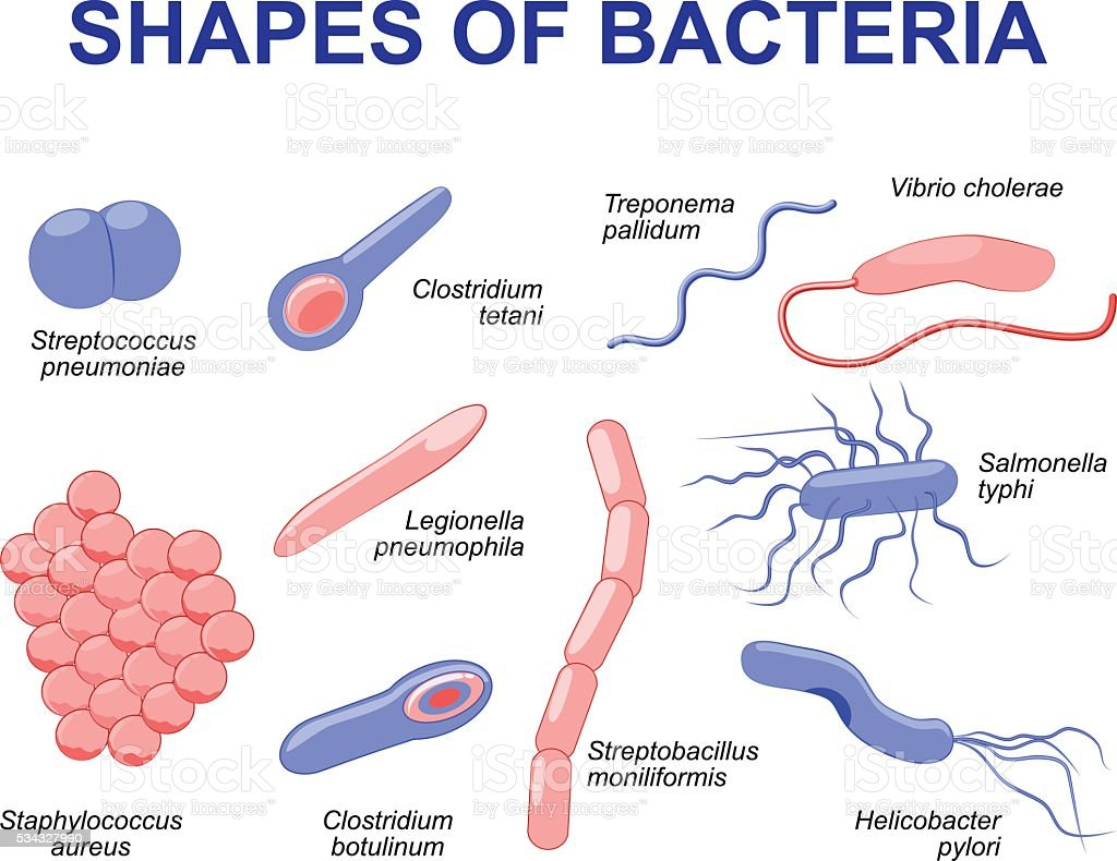 Common Bacteria Infecting Human Stock Illustration - Download Image