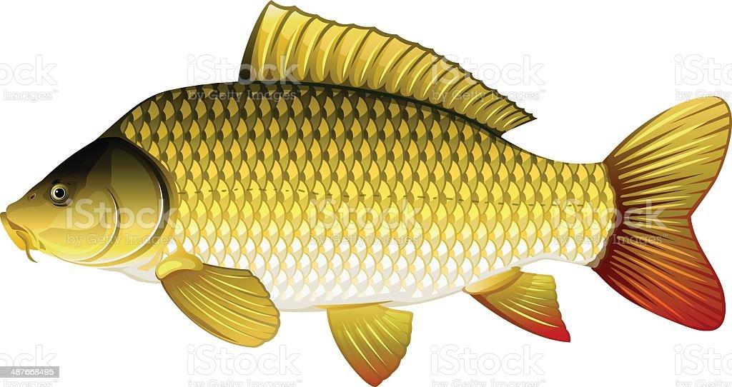 Common carp vector art illustration