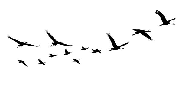 Common Crane and Goose in flight silhouettes Common Crane and Goose in flight silhouettes. flock of birds stock illustrations