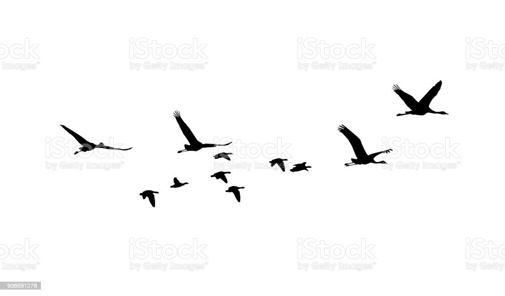Common Crane and Greater white-fronted goose in flight silhouettes vector art illustration