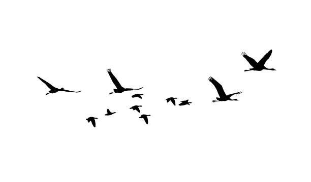 common crane and greater white-fronted goose in flight silhouettes - crane bird stock illustrations