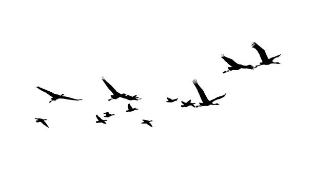Common Crane and Greater white-fronted goose in flight silhouettes Common Crane and Greater white-fronted goose in flight silhouettes water bird stock illustrations