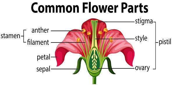 A common flower parts
