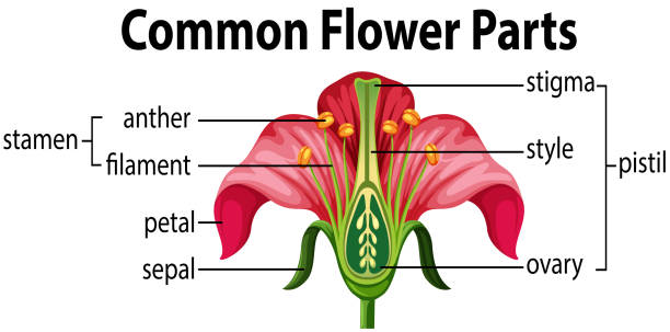 일반적인 꽃 부품 - 꽃밥 stock illustrations