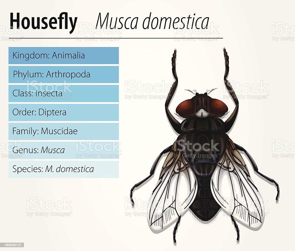 Common Housefly Stock Vector Art & More Images of Animal 480839131 ...