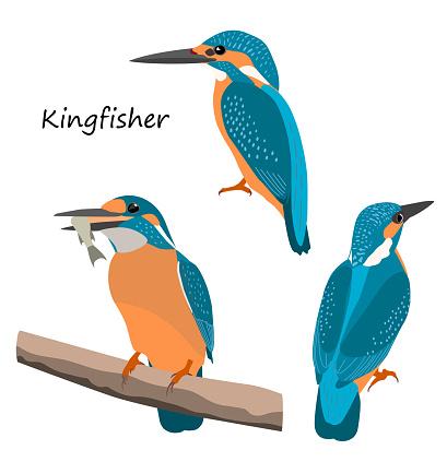 Common kingfisher isolated on white background