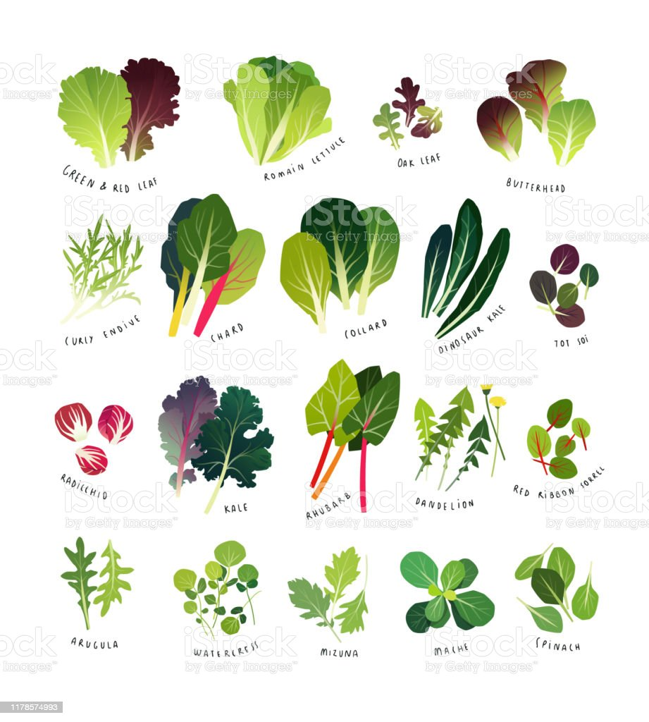 Common Leafy Greens Various Lettuce Types Stock Illustration