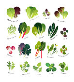 Common leafy greens such as lettuce, curly endive, chards, collards, dinosaur kale, tat soi, radicchio, curly kale, rhubarb, dandelion, sorrel, arugula, watercress, mizuna, mache and spinach