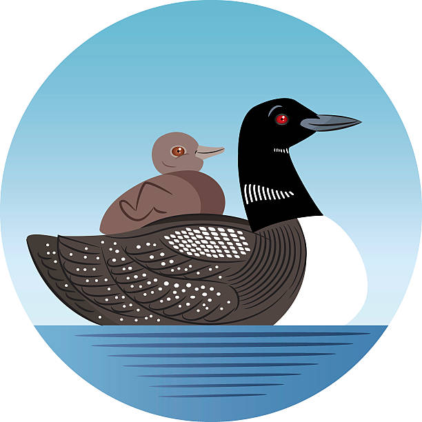 Common Loon Vector Common Loon loon bird stock illustrations