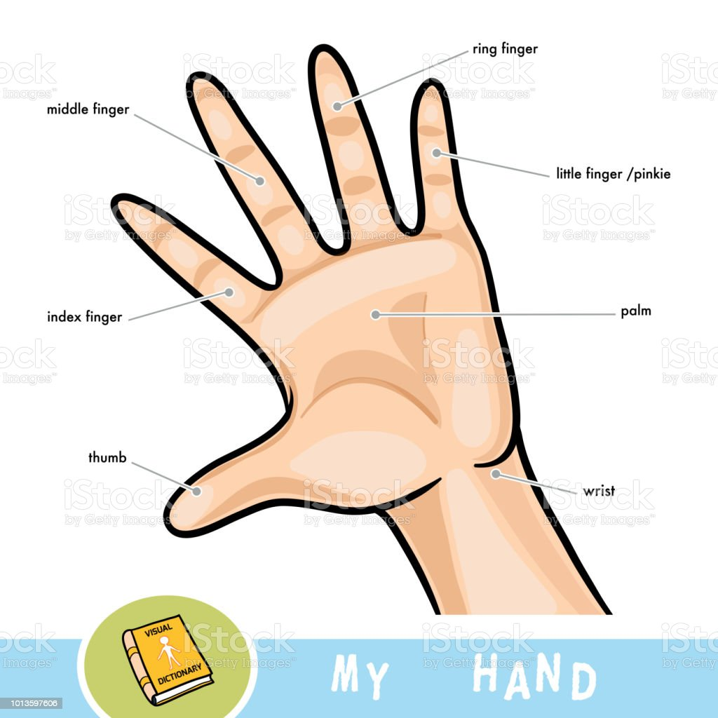Common Names For Fingers Of Hand Cartoon Picture About Human Body ...