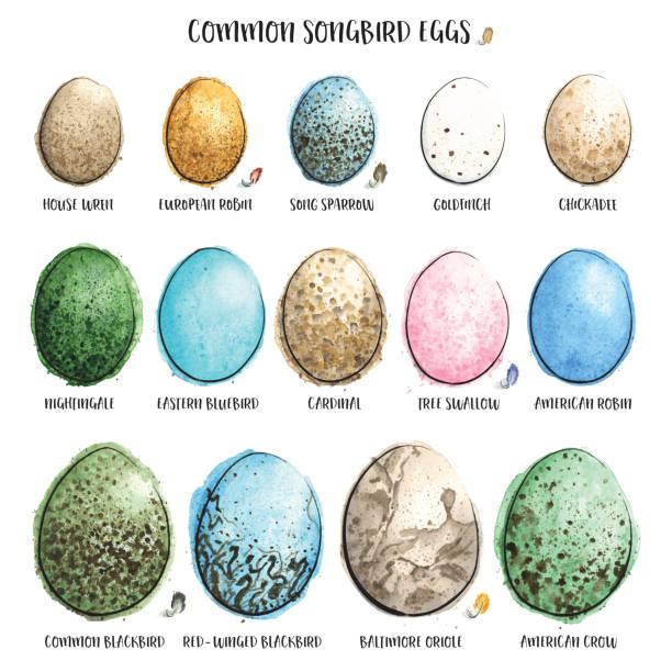 Common Songbird Eggs Painted in Watercolor. Vector Illustration. vector art illustration