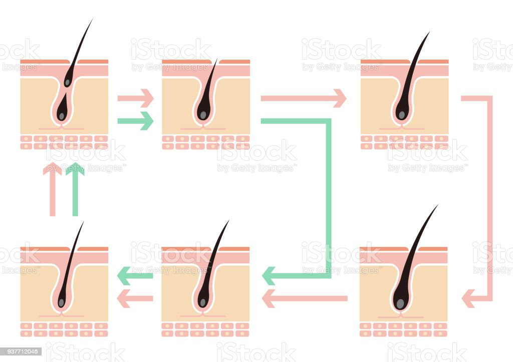 Comparative Illustration Of Normal Hair Cycle And Aga No Text Stock ...