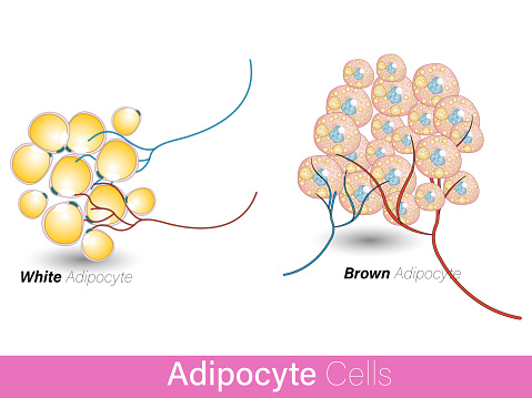 comparision of white and brown adipocyte cells along with blood vessel. fat cells with lipid droplets involved in obesity