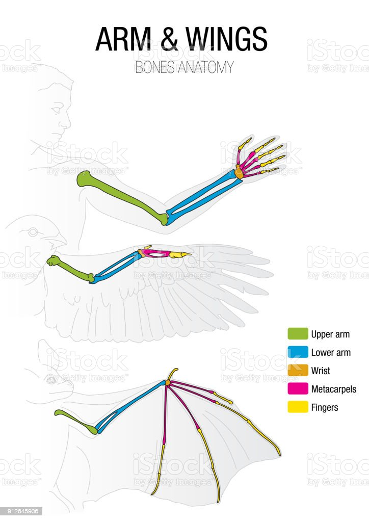 Comparison Of The Bones Of The Bat Bird And Man Stock Vector Art ...