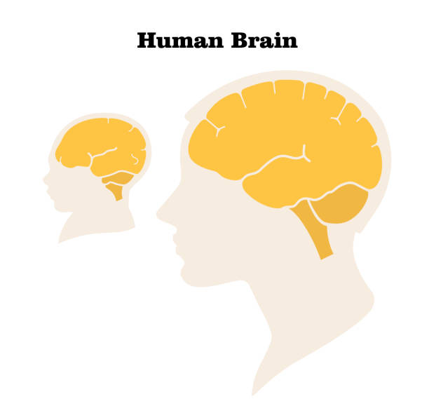 Comparison of the size and characteristics of the brain and head of an adult and a newborn. Silhouette. Flat design. Vector image Comparison of the size and characteristics of the brain and head of an adult and a newborn. Silhouette. Flat design. Vector image occipital lobe stock illustrations