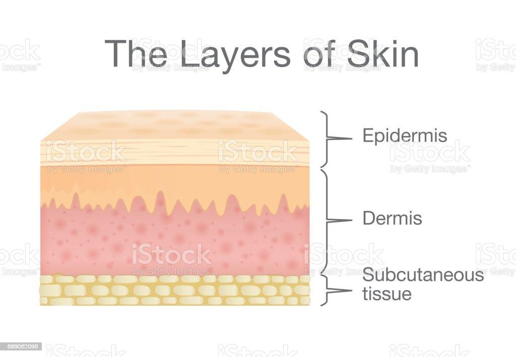 Composants de la couche de peau humaine en style vecteur. - Illustration vectorielle