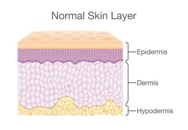 stockillustraties, clipart, cartoons en iconen met componenten van menselijke huidlaag in vector stijl. - menselijke huid