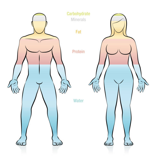 Composition of the main molecules that compose a normal weight woman. Water, fat, protein, minerals and carbohydrate. Illustration of the basic components of the human body. Composition of the main molecules that compose a normal weight woman. Water, fat, protein, minerals and carbohydrate. Illustration of the basic components of the human body. carbohydrate biological molecule stock illustrations