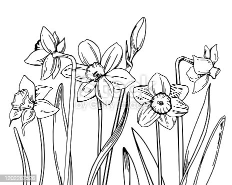 istock Composition with narcissus in a row on the bottom of the page. Hand drawn outline vector sketch illustration 1202267526