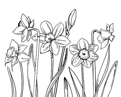 Composition with narcissus in a row on the bottom of the page. Hand drawn outline vector sketch illustration