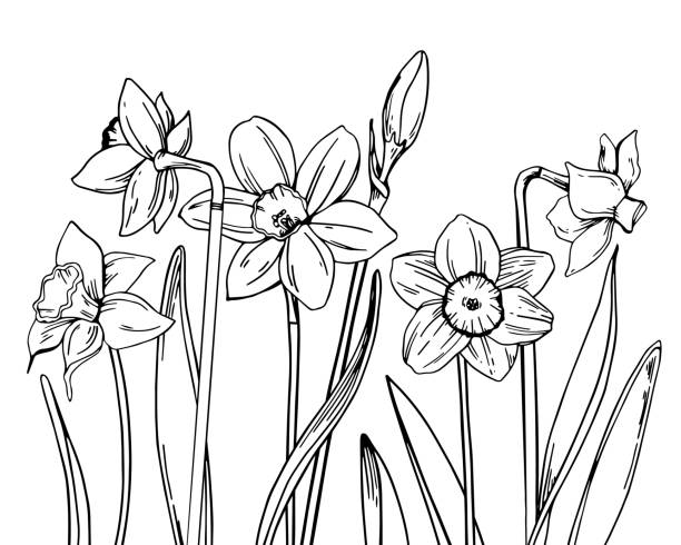 Composition with narcissus in a row on the bottom of the page. Hand drawn outline vector sketch illustration Composition with narcissuses in a row on the bottom of the page. Hand drawn outline vector sketch illustration on white background daffodil stock illustrations