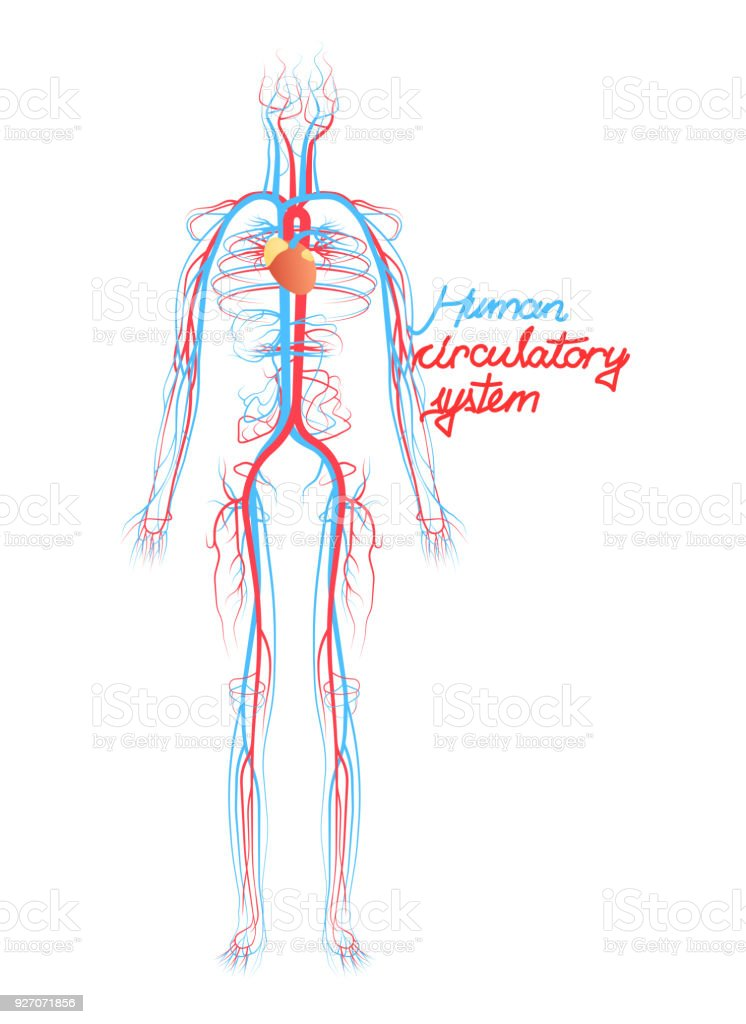 Conceptual Human Blood Circulatory System Blood Vessels Scheme Stock