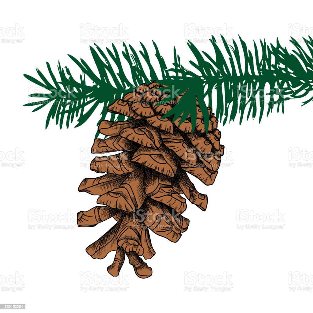 Conifer Cone On Pine Tree Branches Pine Cone Hand Drawing In Color