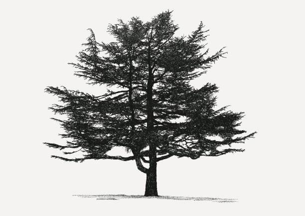 bildbanksillustrationer, clip art samt tecknat material och ikoner med barrträd - fur