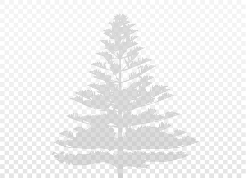 Coniferous tree shadow isolated on transparent background. Vector realistic. Natural silhouette without blurring. (Araucaria heterophylla, Polynesian pine, Norfolk Island pine). Vector EPS10.