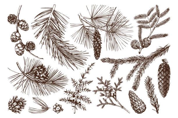 illustrations, cliparts, dessins animés et icônes de collection d'arbres conifères - sapin