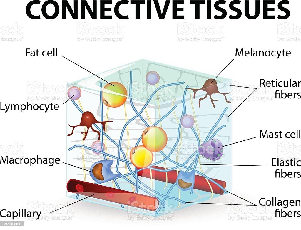 Connective Tissue Stock Illustration