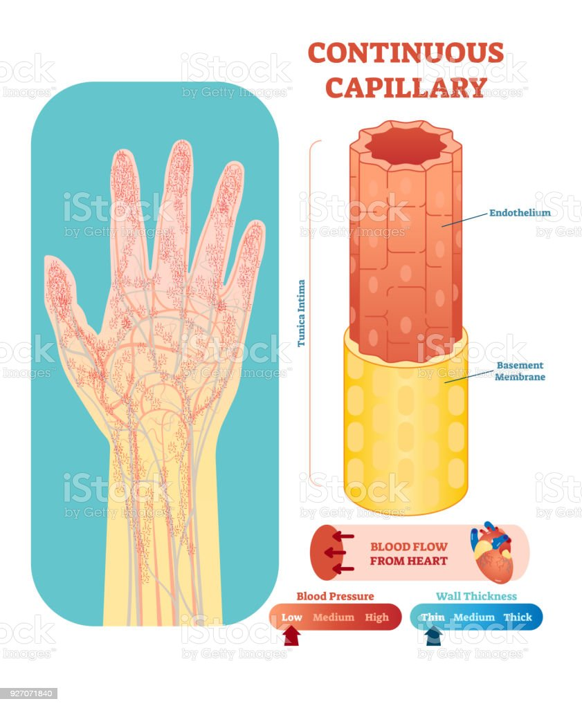 Continuous capillary anatomical vector illustration cross section. Circulatory system blood vessel diagram scheme on human hand silhouette.