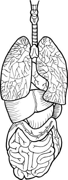 kontur vektor umriss zeichnung des menschlichen darms und leberorgan. medizinisches design bearbeitbare vorlage - enzyme stoffwechsel stock-grafiken, -clipart, -cartoons und -symbole