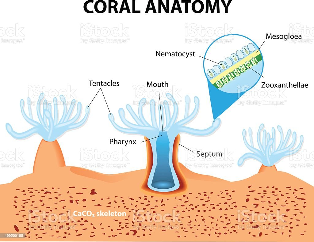 Coral Anatomy Vector Diagram Stock Vector Art More Images Of