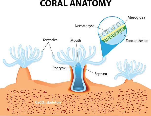 Coral Anatomy. Vector diagram Structure coral polyp. Coral Anatomy. The coral polyps tend to live in colonies and form the building blocks of the reef. polyp corals stock illustrations