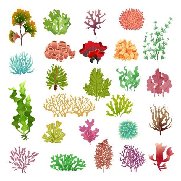 Coral and seaweed. Underwater flora, sea water seaweeds aquarium game kelp and corals. Ocean plants vector set Coral and seaweed. Underwater flora, sea water seaweeds aquarium game kelp and corals. Ocean plants vector color set coral colored stock illustrations