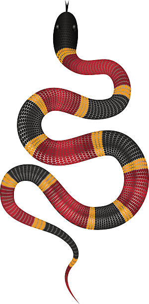 coral snake vector illustration isolated - schmidt stock-grafiken, -clipart, -cartoons und -symbole
